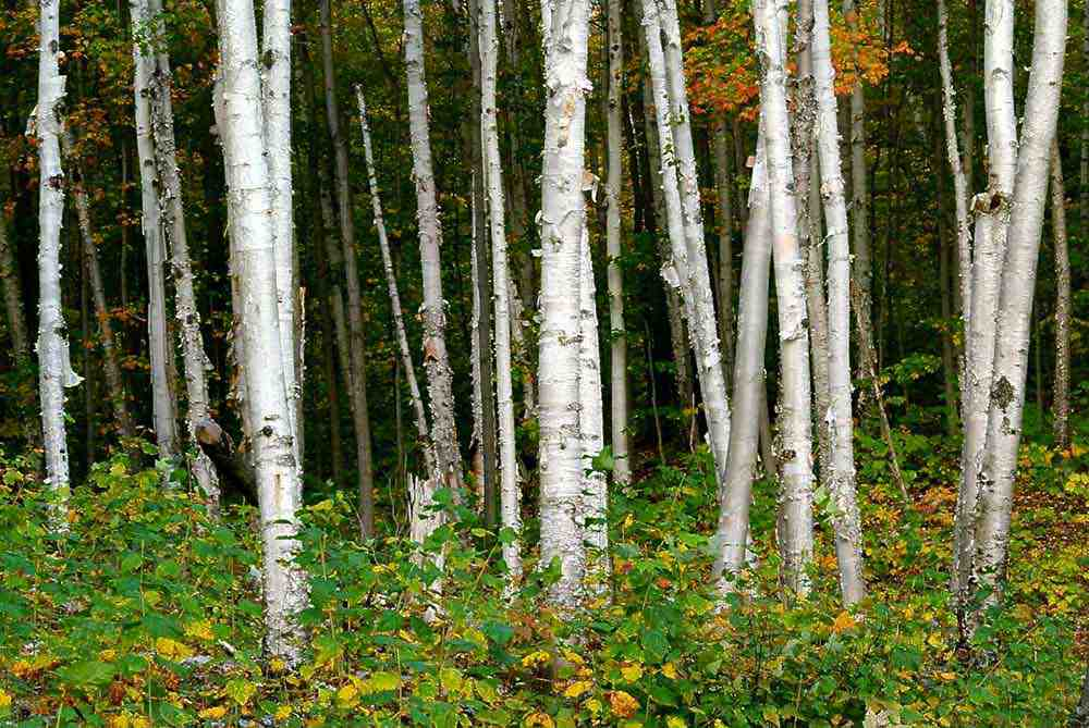 Birch trees (Photo: Bill Crowley)