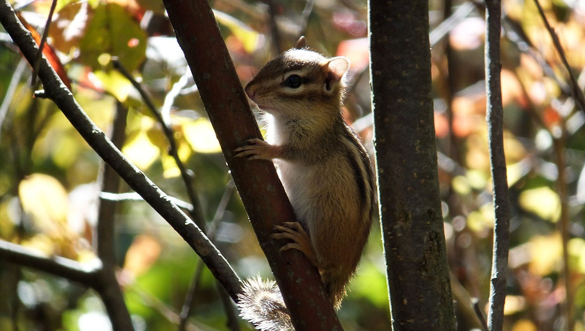 Chipmunk, Dinedune Property, Bruce Trail