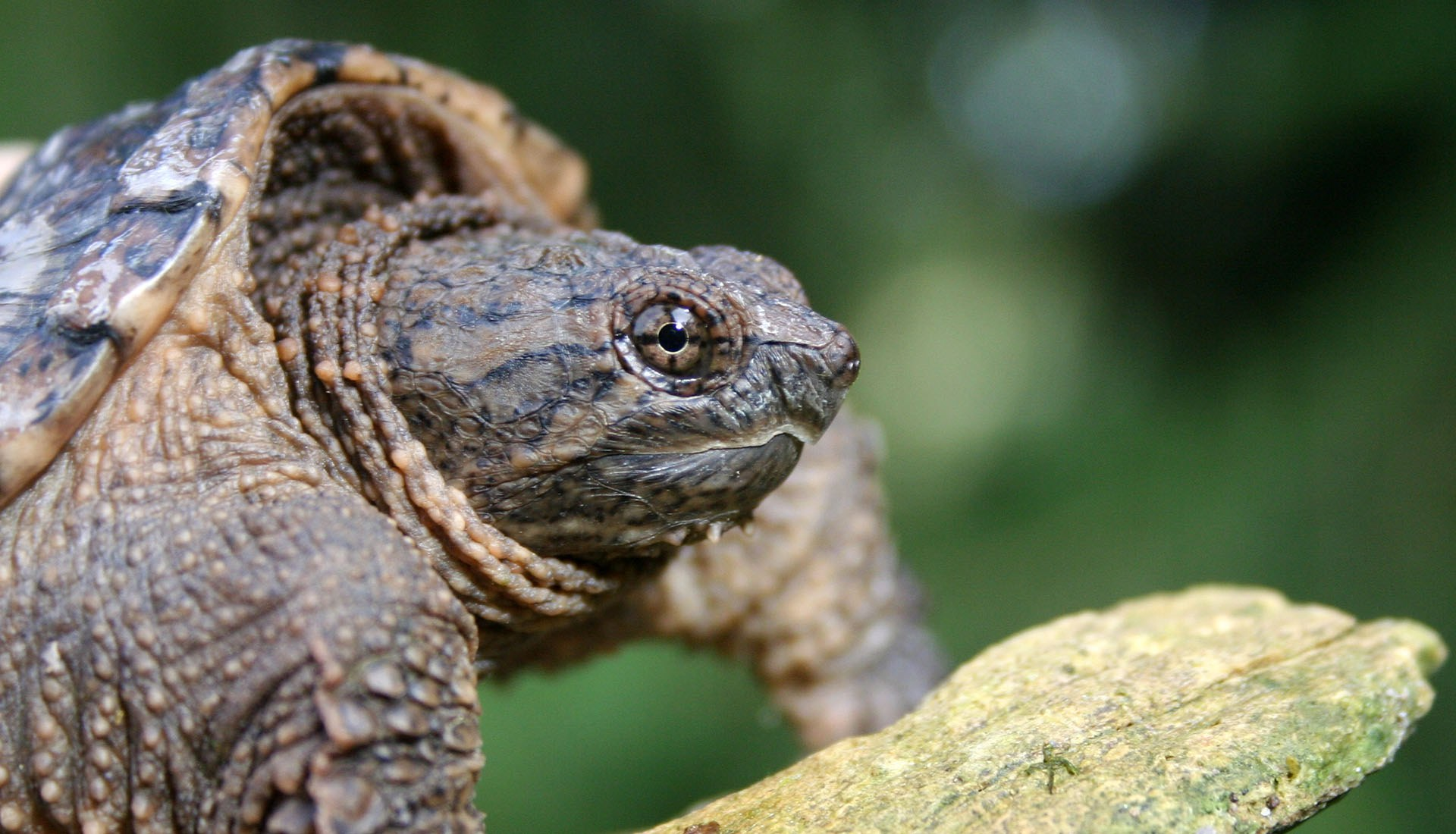 Snapping turtle at Fleetwood property