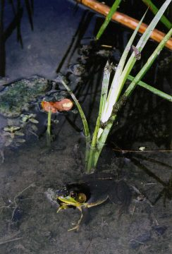 Maidenhair spleenwort found on the C. Thompson Property