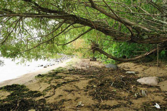 Saule sur la plage de l'île Great Manitou
