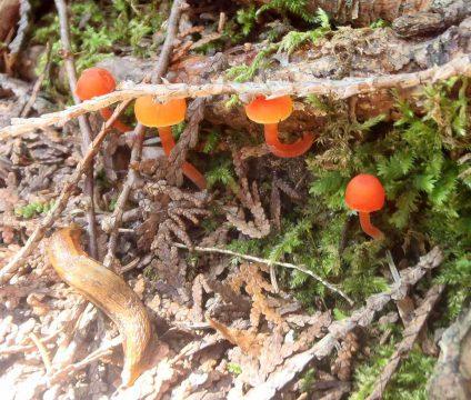 Orange mushrooms at the Fleetwood Creek Natural Area