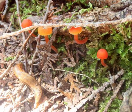Champignons orange dans la zone naturelle du Ruisseau Fleetwood