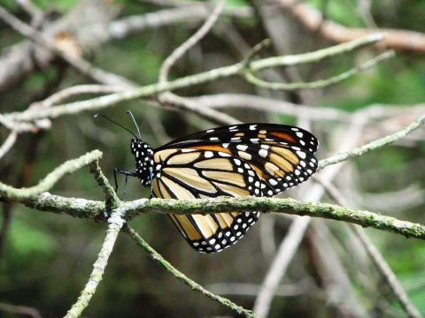 Monarch butterfly on a branch at the Fleetwood Creek Natural Area