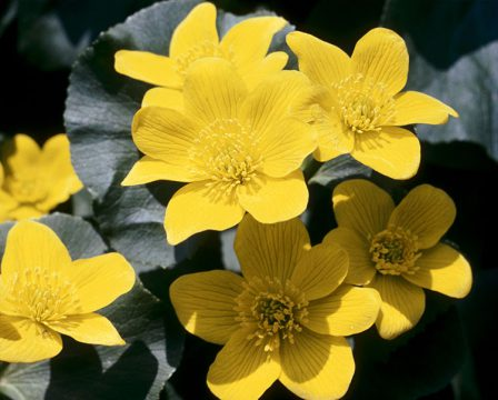 Marigold des marais