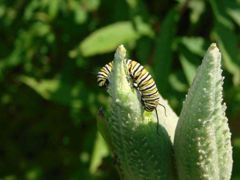 Monarch Caterpillar Braham