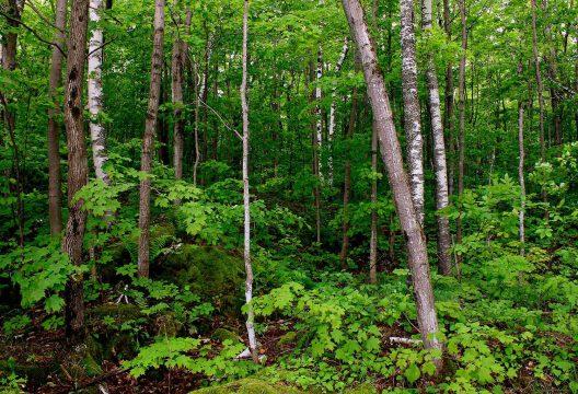Forêt au nord-est de la propriété C. Thompson