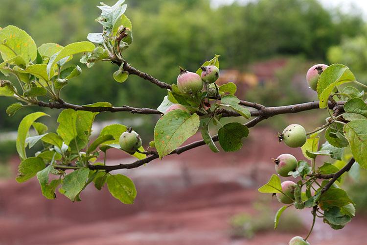 Wild apple trees, Caledon