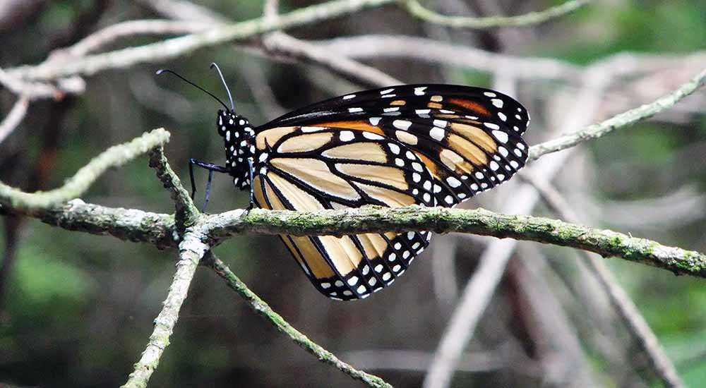 Monarch butterlfy